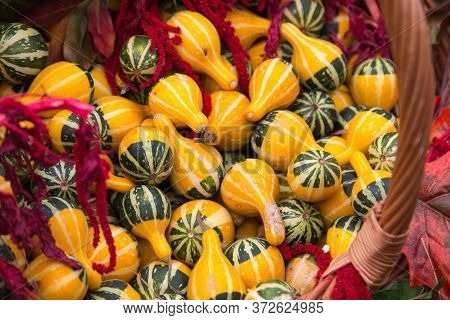 Pumpkin Decorative Varieties Pear Two-tone Bright Yellow In A Wicker Basket. Food, Vegetables, Agric