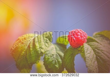 Photo Ripe Raspberries Branch. Red Raspberries. Red Berry With Green Leaves In The Sun. Raspberries