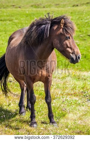 Portrait of a thoroughbred horse with a brown mane. Green fresh tall grass in summer tundra. Iceland. Dream Journey to the North of the Earth