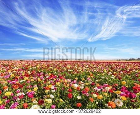Easter week. Field of flowering garden buttercups. Spring in Israel, the kibbutz in the south. The cumulus clouds. Concept of active and ecological tourism