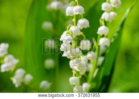 Flower Spring Sun White Green Background Horizontal. Spring Flower Lily Of The Valley. Lily Of The V