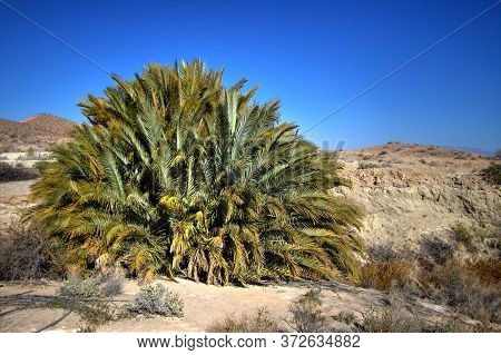 Sago Palm. Large Sago Palm Growing Wild At A Natural Spring In The Lake Mead Recreation Area On The