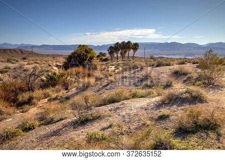 Lake Mead Desert Landscape. Grove Of Palm Trees At A Natural Desert Spring In The Lake Mead National