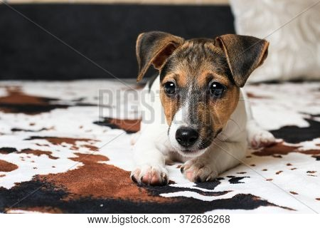 Home Lifestyle Portrait Of A Funny Happy Puppy. The Breed Of A Hunting Dog Is Jack Russell Terrier.
