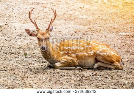 Male Chital Or Cheetal Deer (axis Axis),in Sunlight