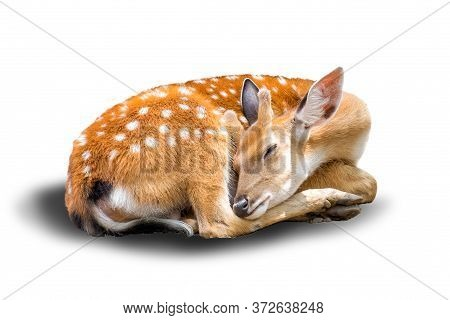 Little Chital Or Cheetal Deer (axis Axis),is Sleeping In White Background