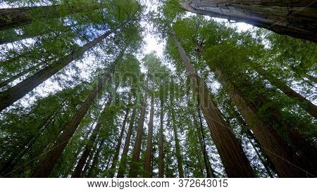 Giant Red Cedar Trees In The Avenue Of The Giants - Redwood National Park