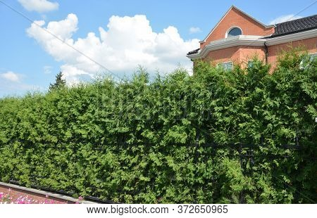 Thick, High Green Thuja Hedge, Screen Plant For Privacy Near A Metal Fence In Front Of The House.
