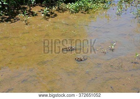 Ducklings Swimming In Muddy Lake Or Pond Water