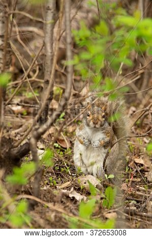Curious and chubby grey Squirrel or Sciurus carolinensis looking for peanuts in a forest