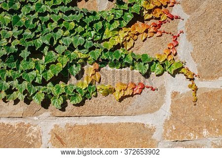 Ivy Is Growing Along The Wall Of The Fence. Ivy Has Yellow, Red And Green Leaves. Decorative, Floral