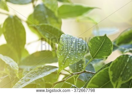 Selective Focus. Ficus Tree Leaves In Large Drops Of Water. Weeping Fig, Benjamin Fig (ficus Benjami