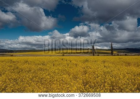 Field Of Rapeseed, Canola Or Colza. Rapeseed Is Plant For Green Energy And Green Industry, Golden Fl