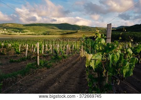 Green Spring Vineyards Landscape And Vines In Cloudy Weather. Royal Vineyard. Wine Farm At Sunset In