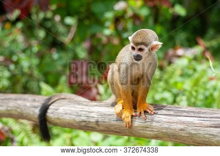 A Common Squirrel Monkey Playing In The Trees