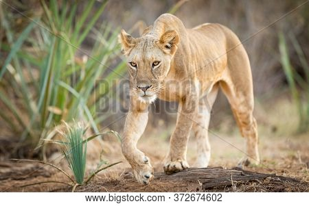 Horizontal Full Body Portrait Of A Lioness Walking In Samburu National Park Kenya