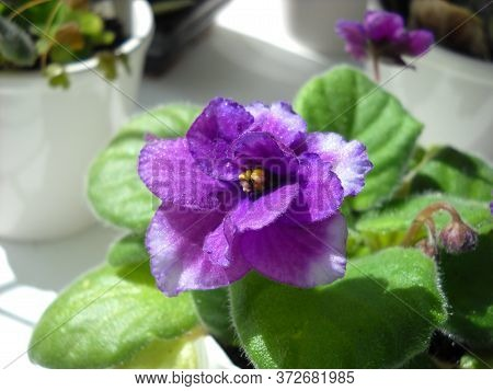 Uzambara Violet Or Saintpaulia Of Violet Color With Fluffy Green Leaves Around. Beautiful Purple Ter