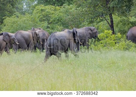 A Group Of Elephants Decide To Walk To Cover At The Side Of A Road In Botswana.