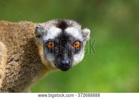 A Portrait Of A Brown Maki, A Close Up Of A Funny Lemur