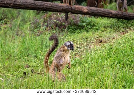 Brown Lemurs Play In The Meadow And A Tree Trunk And Are Waiting For The Visitors