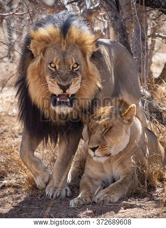 Aggressive Male Lion Snarling At The Camera Protecting Sleeping Lioness In Kruger Park South Africa