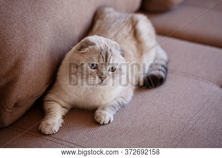 Cute Scottish Cat Is Lying On The Couch And Looking Away.