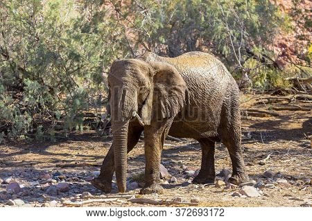 An Adult Elephant Uses Dust And Mud To Protect It From The Heat Of The Namibian Sun.