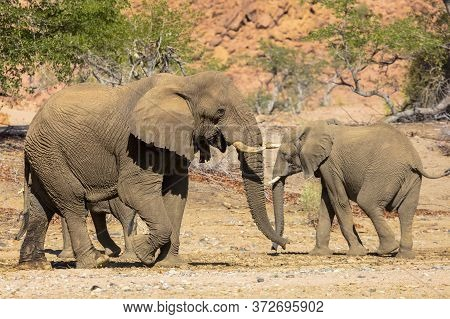 An Adult Elephant Passes Two Young Elephants As They Cross A Dried River Bed In Namibia.