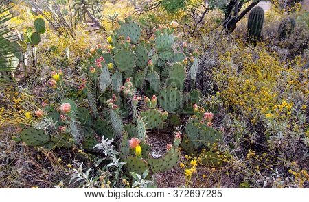 Prickly Pear In The Sonoran Desert Of Arizona In Full Bloom With Spring Wildflowers.