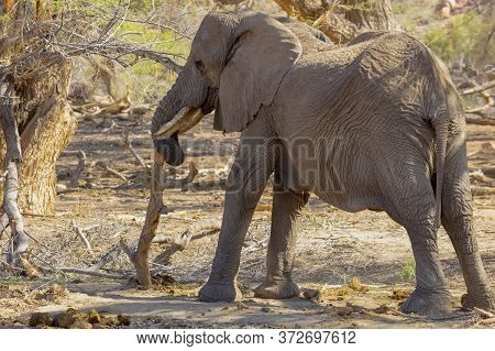 An Emaciated Female Elephant Tries To Find Food In A Small Dead Tree.