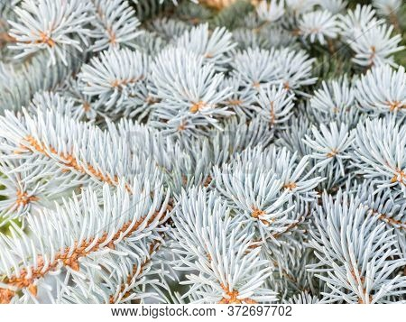 Selective Focus, Blue Spruce Branches In Winter. The Blue Spruce Tree ( Picea Pungens). Christmas An
