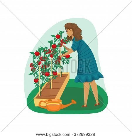 A Woman Takes Care Of Tomatoes In The Garden. Planting, Growing Vegetables. The Care Of The Garden.