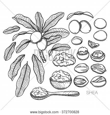 Collection Of Graphic Shea Plants. Nuts, Leaves And Butter Inside The Woodeb Bowl And Spoon