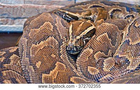 Hieroglyphic Python, Or Rock Python (lat. Python Sebae)