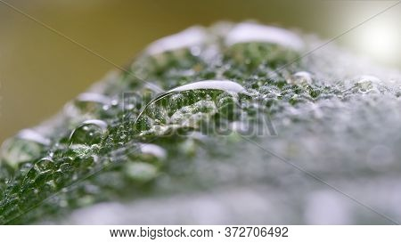 Water Drops On The Leaf Of A Sage After A Rain