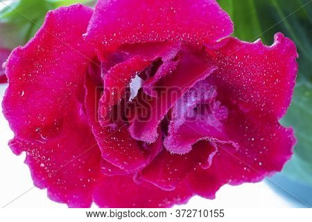 Close Up Pink Sinningia Or Gloxinia Speciosa, One Open Bright Flower With Water Drops On The Backgro