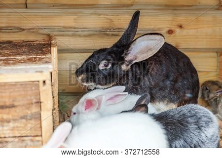 Many Different Small Feeding Rabbits On Animal Farm In Rabbit-hutch, Barn Ranch Background. Bunny In