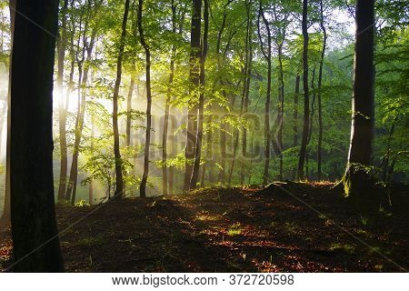 Forest Landscape. Trees In The Sunlight In A Green Forest.