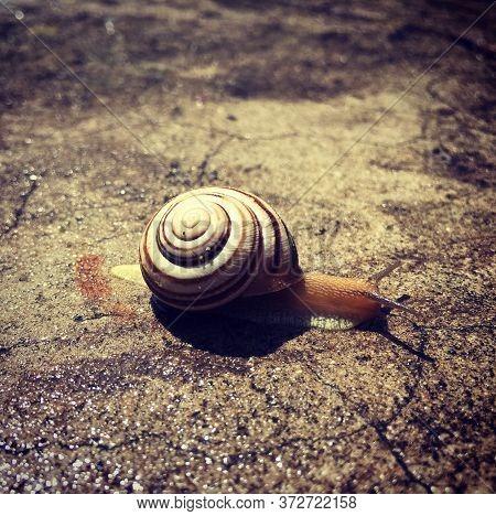 Garden Snail Snail In Shell Crawling Nature Speed Concept Big Snail In Shell Crawling On Road. Burgu
