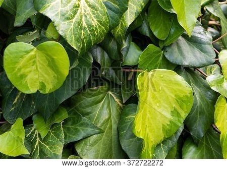 Ivy Heart Shape Leaf Wall Close-up (hedera).  Symbol Of Love. Green Sulphur Heart Leaves Romantic Ba