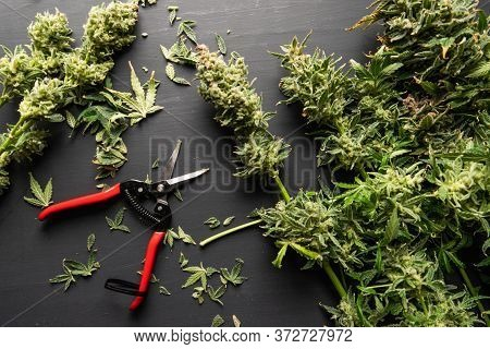 Mans Hands Trimming Marijuana Bud. Growers Trim Cannabis Buds. Growers Trim Their Pot Buds Before Dr