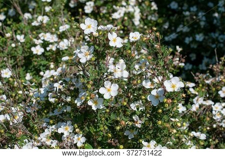 A Bush Of Shrubby Cinquefoil Or Dasiphora Fruticosa With White Flowers