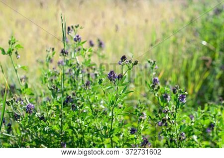 Close-up Of An Alfalfa Plant, Medicago Sativa, On A Meadow In Early Summer