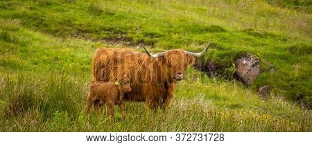 Highland Cow And Her Calf Together In A Rough, Green, Grassy, Scottish Highland Field.