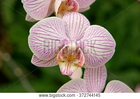 Close Up Orchid Flower Blooming On Green Background. Detailed View Of Beautiful Striped Orchid Flowe