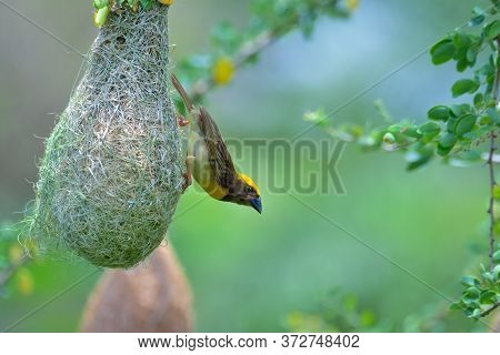 The Baya Weaver Is A Weaverbird Found Across The Indian Subcontinent And Southeast Asia. They Are Be