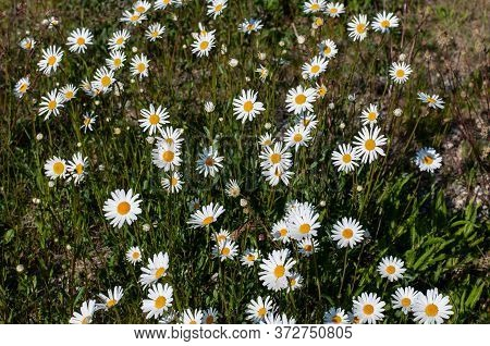 An Uncultivated Meadow In Springtime With A Group Flowering Marguerite Daisies