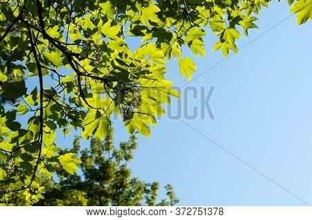 Branch Of Acer Pseudoplatanus Or Sycamore Maple With Hanging Flowers And Fresh Green Leaves In Sprin