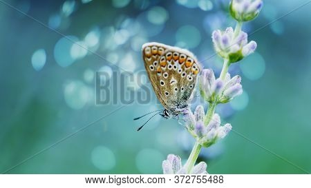 Lavender Flowers In Field. Pollination With Butterfly And Lavender With Sunshine, Sunny Lavender. So