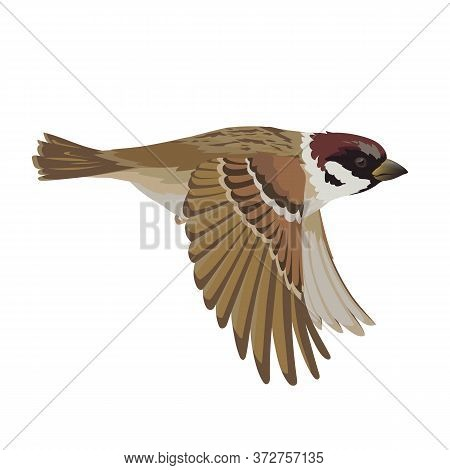 Realistic Sparrow Flying. Colorful Vector Illustration Of Little Bird Sparrow In Hand Drawn Realisti